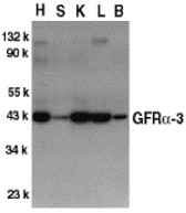 AP30363PU-N - GFRA3 / GDNFR-alpha 3