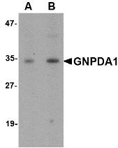 AP30368PU-N - GNPDA1