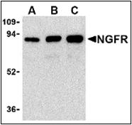 AP30590PU-N - CD271 / NGFR