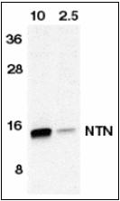 AP30589PU-N - Neurturin