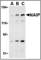 AP30574PU-N - NAIP