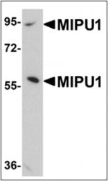 AP30564PU-N - ZNF667