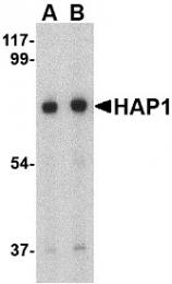 AP30391PU-N - HAP1
