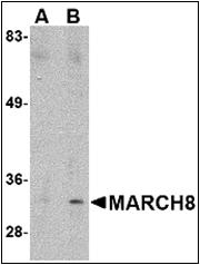 AP30538PU-N - MARCH8