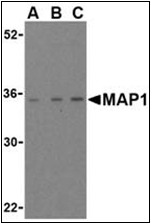 AP30535PU-N - MOAP1