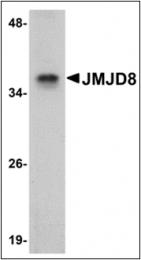 AP30466PU-N - JMJD8
