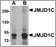 AP30459PU-N - JMJD1C / TRIP8