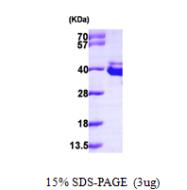 AR09620PU-L - Annexin A8 / ANXA8
