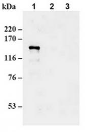 AM20175AF-N - CAF-1 subunit A