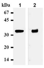 AM05093AF-N - Syntaxin 1A / STX1A