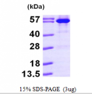 AR09638PU-L - Luciferase