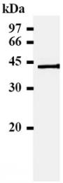 SM3053A - HLA class I alpha E / HLA-E