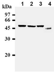 AM00228AF-N - Cyclin B1