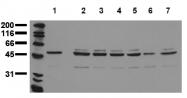AM20207PU-N - Aurora kinase A