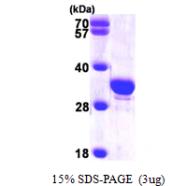 AR09660PU-L - Secretagogin (SCGN)