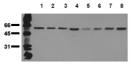 AM20210PU-N - Beclin-1