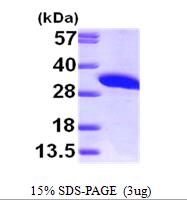 AR09675PU-L - Inositol monophosphatase / IMPA1