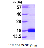 AR09677PU-L - Cytidine deaminase
