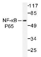 AP20196PU-N - RELA / NF-kB p65
