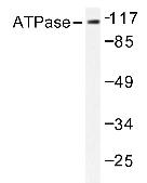AP20203PU-N - ATP1A1