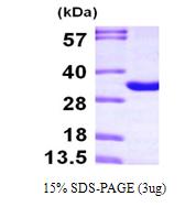 AR09699PU-L - THYN1 / THY28