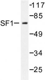 AP06579PU-N - Steroidogenic factor 1