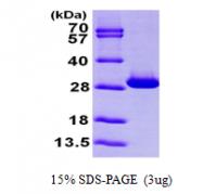 AR09702PU-L - Triosephosphate isomerase (TPI1)