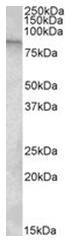 AP26007PU-N - TRPC4AP / TAP1 / TRUSS