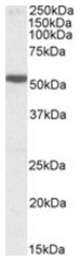 AP26018PU-N - Serotonin receptor 3B (HTR3B)