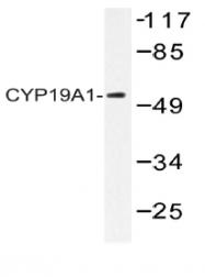 AP20542PU-N - Aromatase