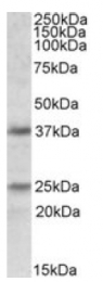 AP09522PU-N - Podoplanin