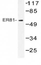 AP20524PU-N - ETV1 / ER81