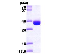 AR09734PU-L - Spermidine synthase / SRM