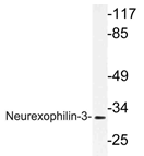 AP21203PU-N - Neurexophilin-3