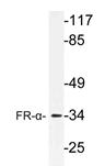 AP21174PU-N - Folate receptor alpha