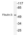 AP21171PU-N - Fibulin-3