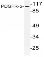 AP21128PU-N - CD140a / PDGFRA