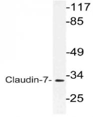 AP21132PU-N - Claudin-7 / CLDN7