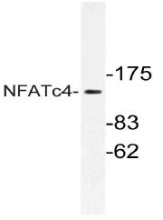 AP21139PU-N - NFATc4 / NFAT3
