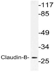 AP21149PU-N - Claudin-8 / CLDN8