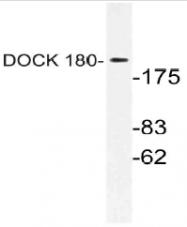 AP21159PU-N - DOCK1 / DOCK180
