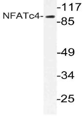 AP21053PU-N - NFATc4 / NFAT3
