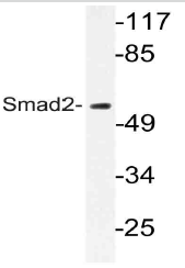AP21054PU-N - SMAD2
