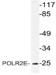 AP21061PU-N - POLR2E