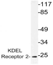 AP21062PU-N - KDEL Receptor 2 / KDELR2