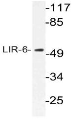 AP21065PU-N - LILRA1 / CD85i