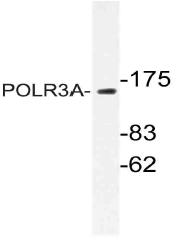 AP21068PU-N - POLR3A