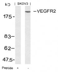 AP02619PU-S - CD309 / VEGFR-2 / Flk-1