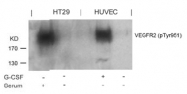 AP02384PU-S - CD309 / VEGFR-2 / Flk-1