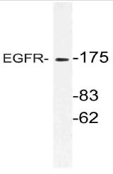AP21102PU-N - EGFR / ERBB1